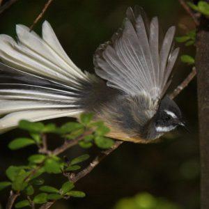 Fantail Bird (Piwairakaraka)